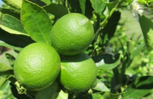 Our lime juicing is in full swing